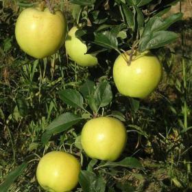 Blondee Apples