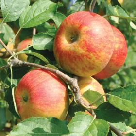 Cox's Orange Pippen Apples