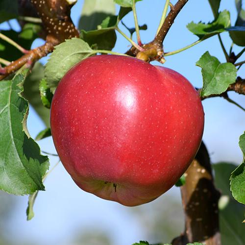 Red Jonaprice Apples