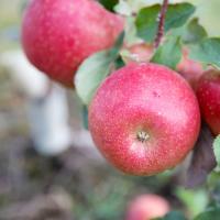 Rosalee Apples