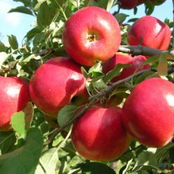 WineCrisp Apples